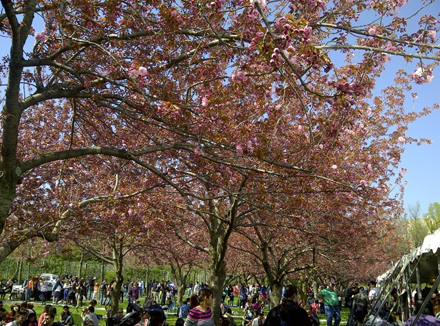 cherryblossoms2013